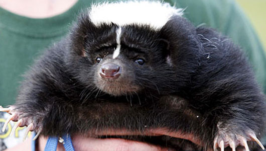 Obese skunk put on vegetarian diet to battle bacon addiction